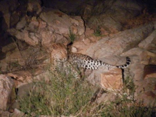 Africa's Big Leopard. Thorny Bush Game Reserve, Mpumalanga